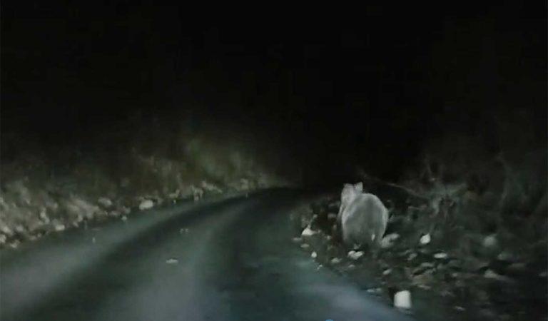 Видео: Мечка снимена вечерва на патот за Куратица
