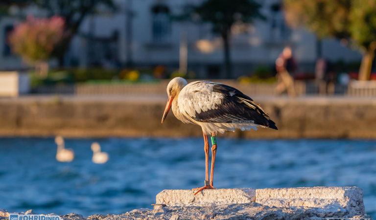 Фото: Штрк во посета на Охридското пристаниште